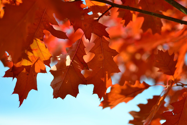 Beautiful oak leaves on blue sky background.